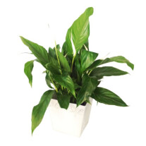Spathiphyllum in ceramic vase (Subject to availability)